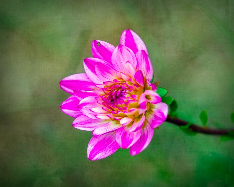 IMAGE: http://www.cornbread.com/~buggz/_MG_0501-dahlia-textured.jpg